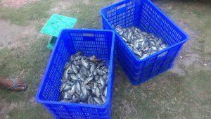 Budidaya Ikan di Desa Meranti, Kelompok ARWANA, IKAN Nila