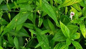 manfaat daun sambiloto, tanaman herbal perlancar peredaran darah