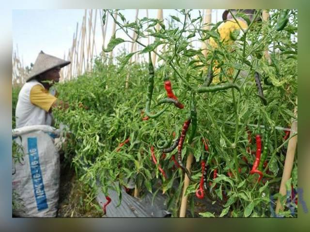 petani cabai, Kelompok Tani Sadar, hasil panen cabai