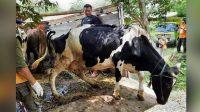 penanganan hewan tepenanganan hewan ternakPerawatan hewan ternak pasca banjirrnak,