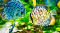 cara memelihara ikan hias, jenis ikan hias air tawar, rekomendasi ikan hais air tawar, Ragam Ikan Hias