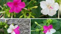 bunga pukul empat untuk kesehatan, khasiat bunga pukul empat, meningkatkan vitalitas seksual