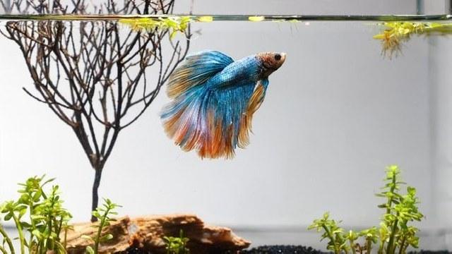 warna ikan cupang, warna multi color cupang, cara merawat ikan cupang